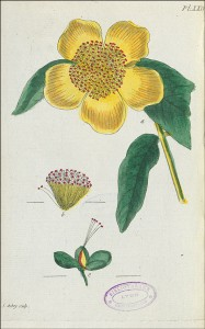 Planche XXIV (Le millepertuis quadrangulaire) du Recueil de plantes coloriées, gravée par Jean Aubry