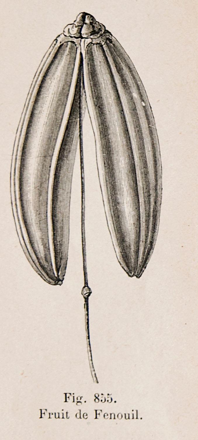 fenouil (2)