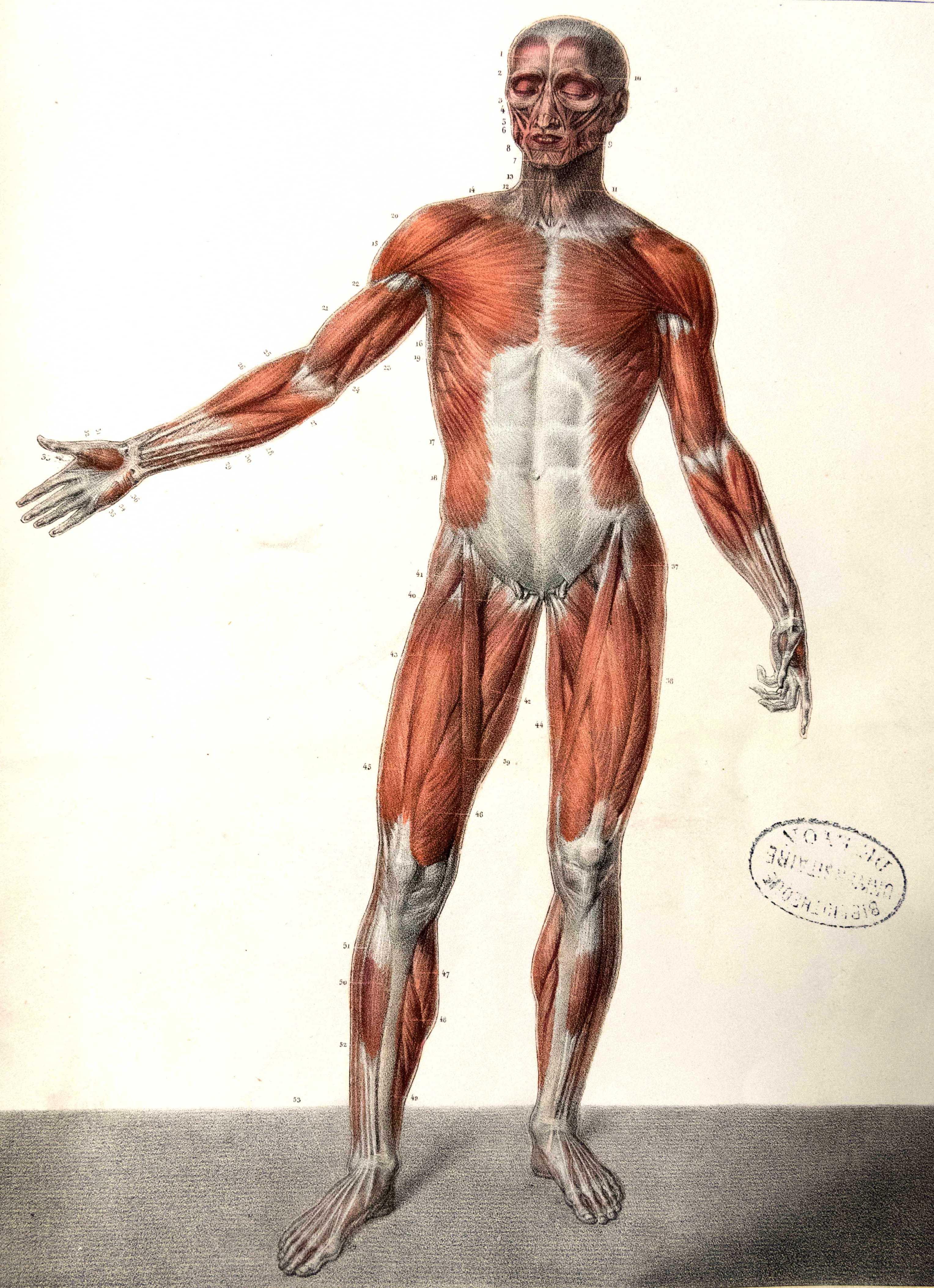 Großartig Usmle Anatomie Bewertung Ideen - Anatomie Ideen - finotti.info