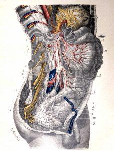 Traité d'anatomie ancien (12)