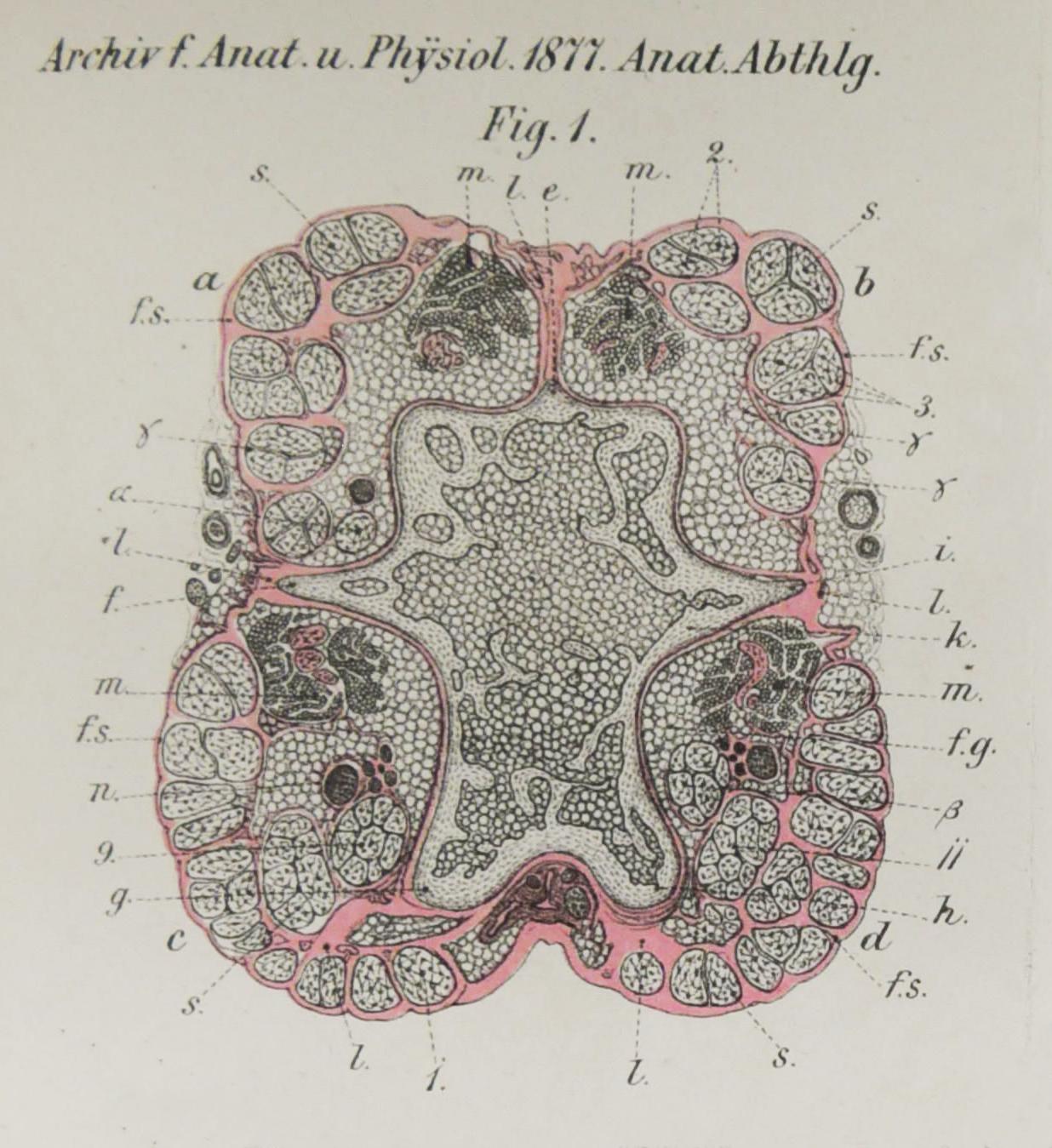Archiv für Anatomie und Physiologie 1877_Planche 2