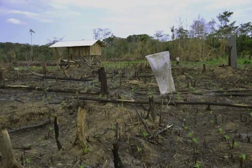 Exploitation agricole récemment défrichée au Nord d'Ixiamas - Colons de Cochabamba arrivés il y a 6 mois