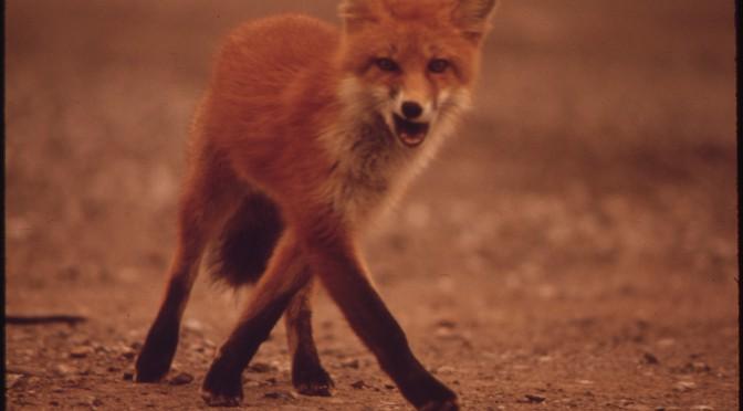 VENDREDI – La semaine de l'Open Access Week : Le loup et le renard parrain