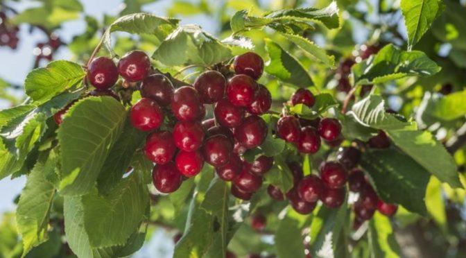 La recette du mois : le vin de cerises