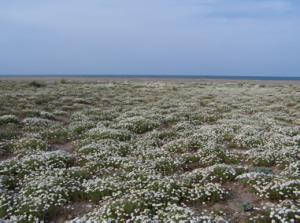 Fig. 2 - Pratelli terofitici ad Anthemis maritima dietro la duna mobile edificata da Ammophila arenaria,  presso la Foce del fiume Arrone (foto S. Ceschin).