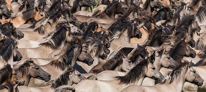 CC Wikimedia Commons, détail, La cattura dei cavalli selvaggi che si tiene l'ultimo sabato di maggio nella riserva naturale di Merfelder Bruch vicino a Dülmen in Germania.