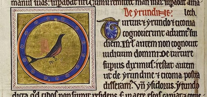 A sitting swallow with forked tail in colour drawn for the Aberdeen Bestiary.