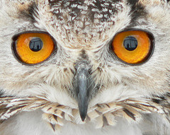 mesmerising owl