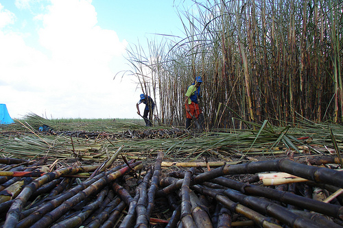 Sugar cane. Photo by Cacero Omena on Flickr (CC BY 2.0).