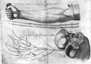 Tabula Secunda, from Girolamo Fabrizi (Hieronymous Fabricius), De venarum ostiolis (1603)
