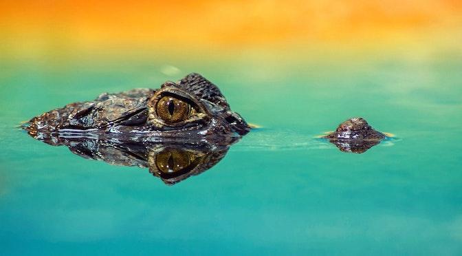Les mélomanes crocodiles (chronique 66)