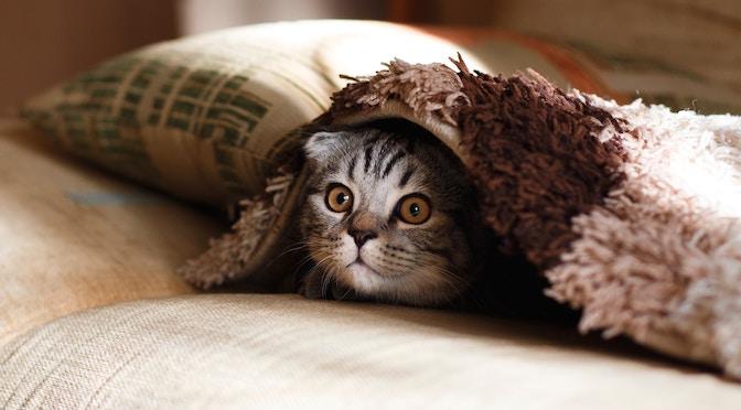 Chat caché sous une couverture