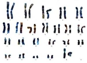 Mapa_genético_o_cariograma