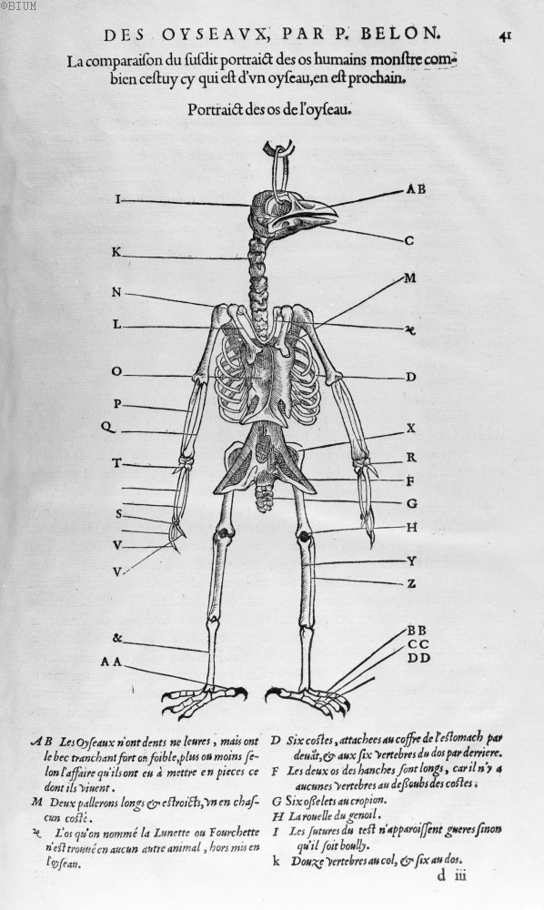 Portraict des os de l'oyseau -