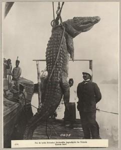 4726. Fra de tyske Kolonier: Krokodille Jagtudbytte fra Victoria Nyanza Søen.