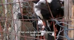 """Des chèvres de Stefano Bellotti (je ne connais pas leurs noms) in """"Résistance Naturelle"""" (00:17:39)"""