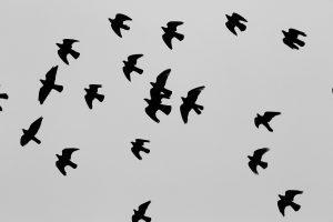 pigeons-569112_1920
