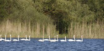 cygnes sur un lac du delta