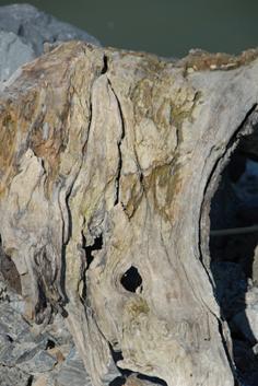 bois mort sur les eaux du Danube