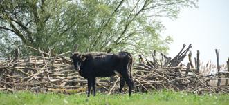 vaca11