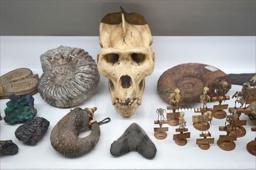 """L'exposition """"Dans la chambre des merveilles"""", au musée des confluences (détail) (Au centre, crane de gorille mâle entouré d'ammonites fossiles, en dessous, dent fossile de requin géant d'Amérique) (A gauche, corne à poudre du Caucase)"""