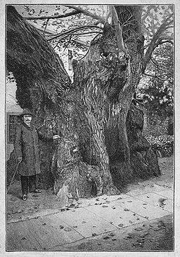 Germany's curious trees: Die Kaditzer Linde, in: Die Gartenlaube (1890).