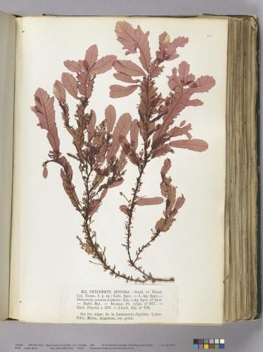 Crouan Frères. Algues marines du Finistère: 2, Floridées. 1852 (Bibliothèque universitaire Saint-Charles, Res 10030/2) © CICRP - photo Odile Guillon