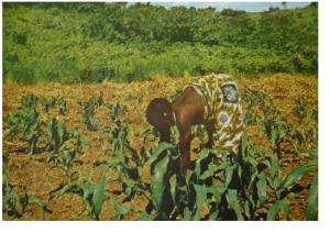 Ituri, femme cultivant du maIs, Photo Deheyn, Crédits à la une, Bulletin agricole du Congo belge, 1933,