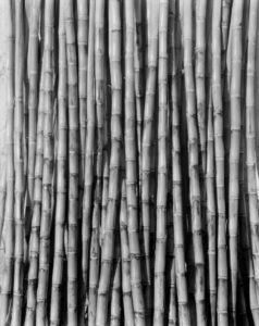 T. MODOTTI (1896-1942), Canne à sucre, 1926