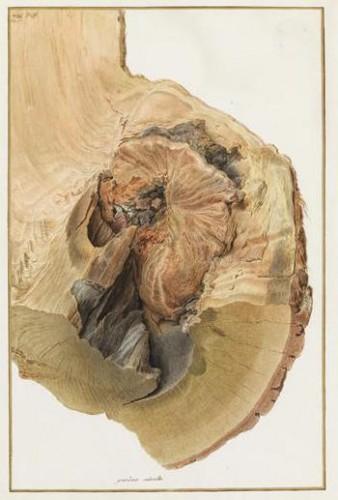 Nicolas Maréchal, Coupe d'un tronc d'arbre, 1793, gouache sur vélin, Paris, Muséum National d'Histoire Naturelle.