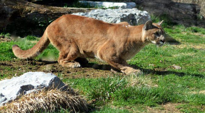Crouching Puma, de Charles Barilleaux