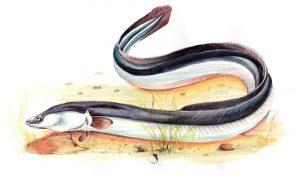 anguille-argentee