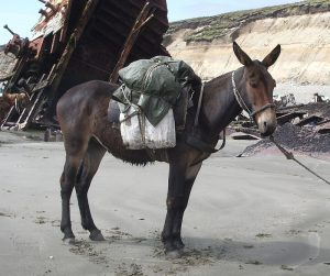 Mula usada para cargar, en Tierra del Fuego, Argentina. Gracias a sus cualidades físicas, este híbrido puede cargar mucho peso y transportarlo con facilidad, incluso en zonas montañosas y de altura. Fuente de la imagen: Wikimedia