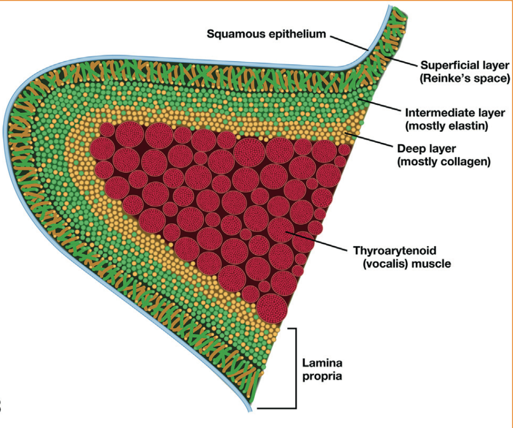 Anatomía, histología y fisiología de los pliegues vocales (II ...
