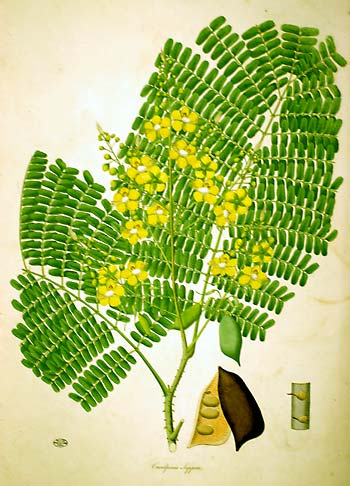 Illustration 1 : Caesalpinia Sappan Extrait de ROXBURGH, W., Plants of the coast of Coromandel…, vol. I,  Londres, Bulmer and Nicol, 1795