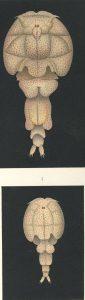 Elytrophora Brachyptera