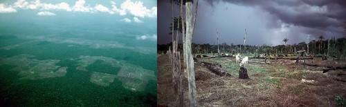 Elevage en Amazonie