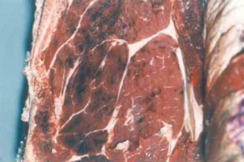 Photographie de purpura d'abattage