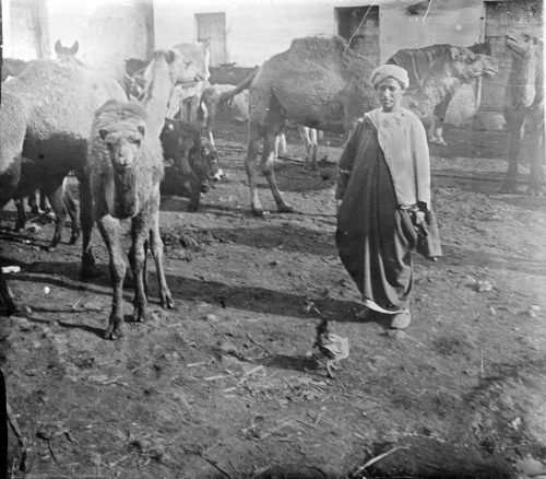 Maroc - Caravansérail de chameaux - Photo © Joseph Miquel 1915-1916