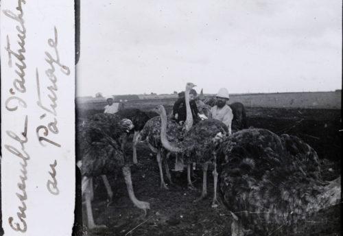 Ensembles d'autruches au pâturage