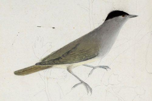 Barátcinege (John James Audobon, 1806 előtt, Museum d'Histoire naturelle de La Rochelle)