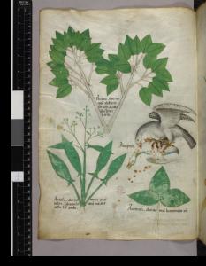 acacia-et-accipiter (Erabrio Carrarese)