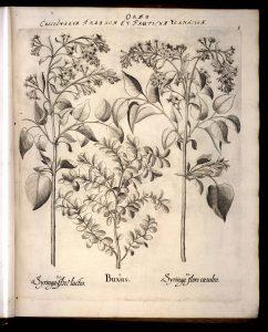 buxus-hortus-eystettensis