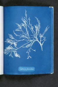cystoseira-foeniculacea