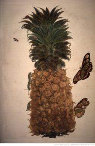 illustrations_de_veranderingen_der_surinaemsche_ananas