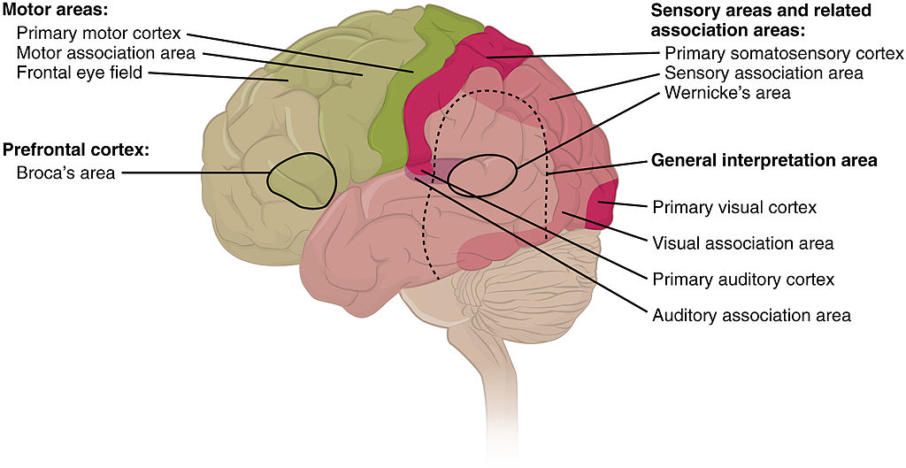 Language And The Brain What You Need To Know About Speech