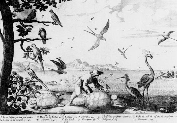 Chasse à la tortue marine aux Petites Antilles (© Du Tertre 1667, tome 2, p. 245).