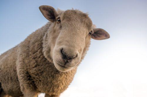 Auf dem Bild sieht man ein Schaf, das frontal in die Kamera schaut