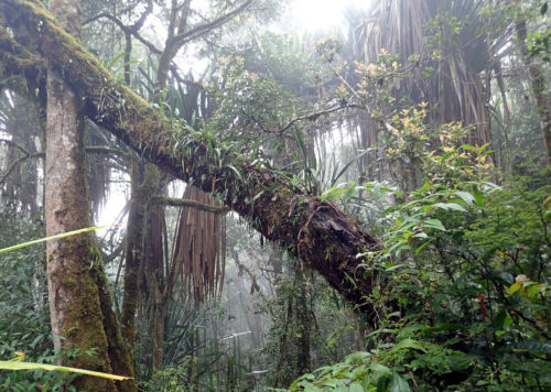 Walking through the rain forest up to Mt Wilhelm (Simbu province)