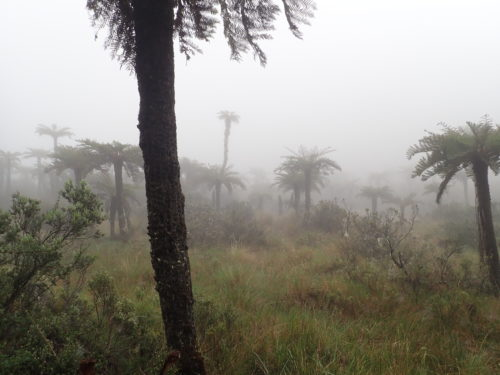Tree ferns scattered in the grassland on Mt Wilhelm slope (Simbu province)